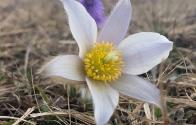 garniraetia - anemone