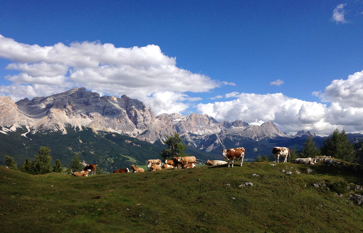 Coes on alpine pastures with Dolomites in the background on a sunny day